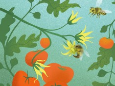 Tomato-bees